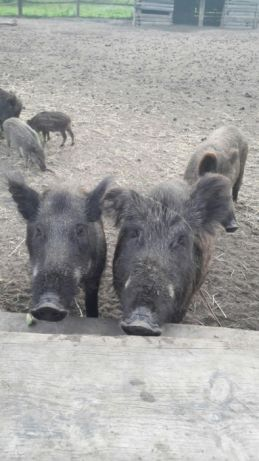 Кабан (дика свиня)