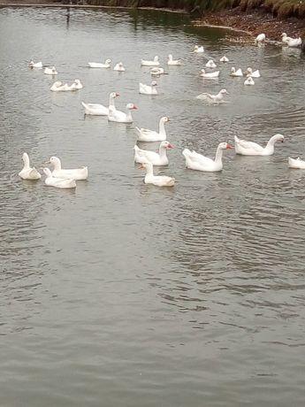 Gęśi białe chodowane na wodzie