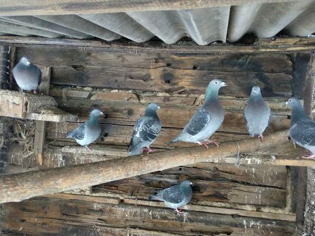 Поштові голуби