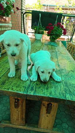 Хорошие щеночки ищут свой дом!