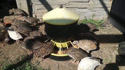 Przepiórki  jaja lęgowe