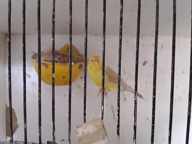 Canarios para desocupar