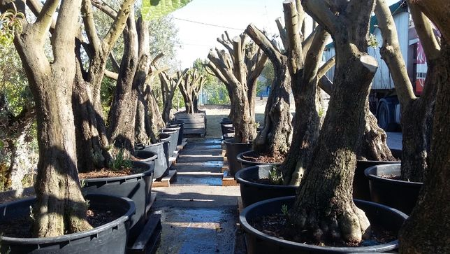 oliveiras para jardim