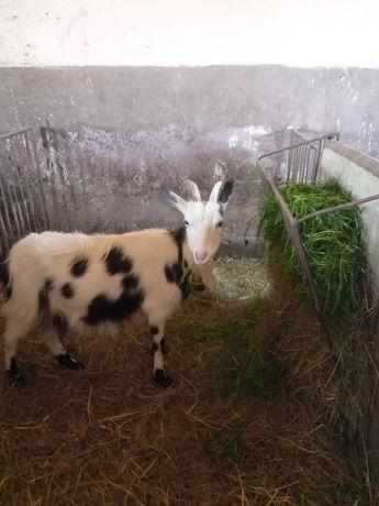 Witam sprzedam kozę