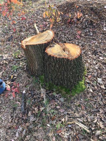Karpy dębow stare drzewo
