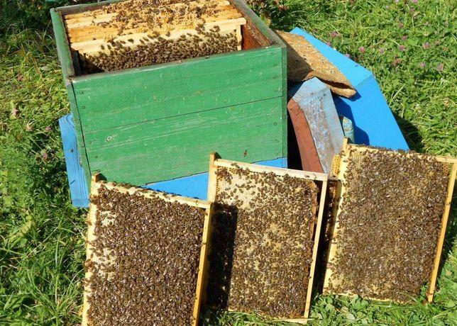 От чистопородных маток Карпатка Пчеломатка Карпатка Меченая матка