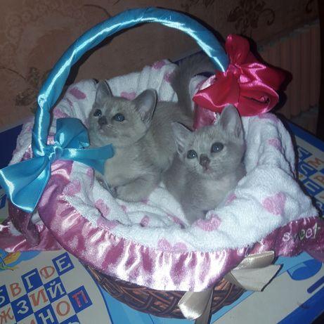 Тонкинские котята (тонкинезы) из питомника