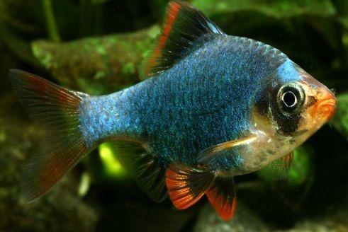 Brzanka mszysta 12 sztuk za 30 zł od Tapajos-pl W-wa dużo innych ryb