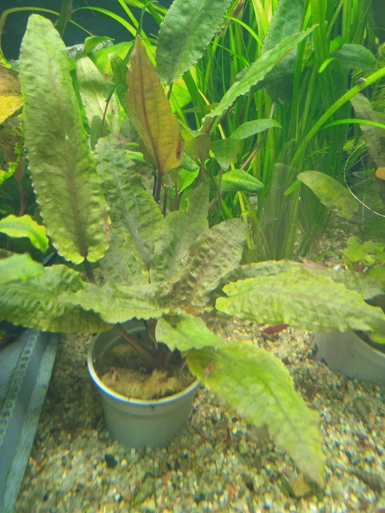 Cryptocoryne Tropica/kryptokoryna/zwartka/rośliny akwariowe/roślina