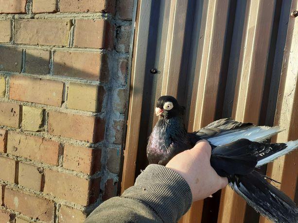 Sprzedam gołębie zamojskie