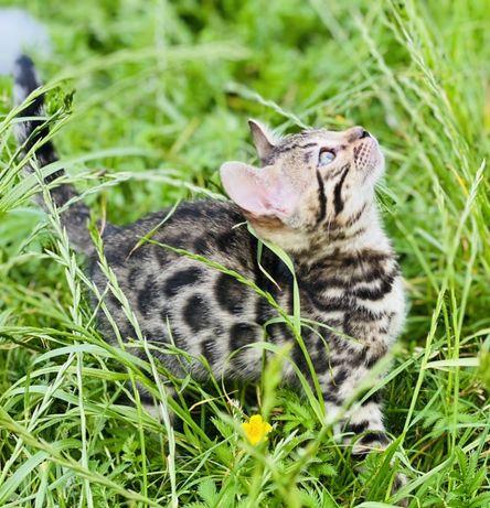 Бенгальські кошенята (літні ціни)