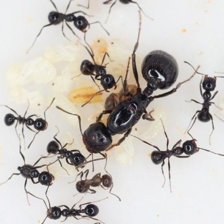Муравьи Мессор Структор Messor structor ( муравей жнец)