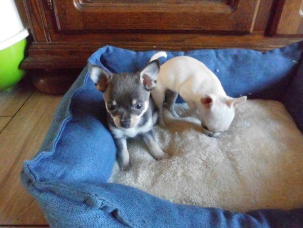Chihuahua suczki