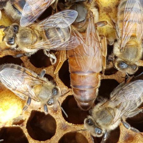 Matka pszczela nieunasiennione