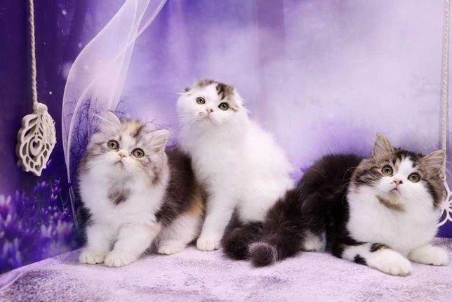Очаровательные шотландские котята\чистокровные