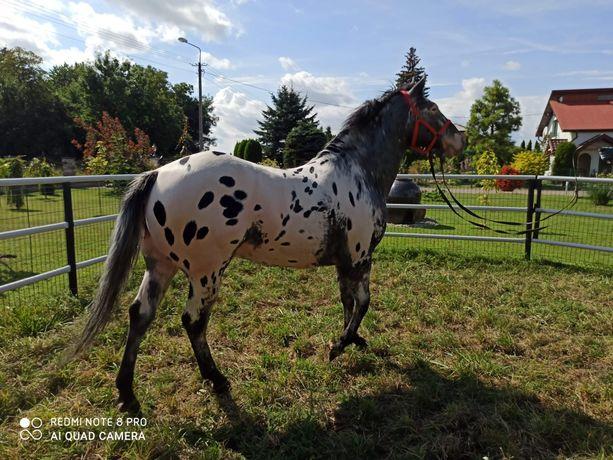 Koń ogier tarant