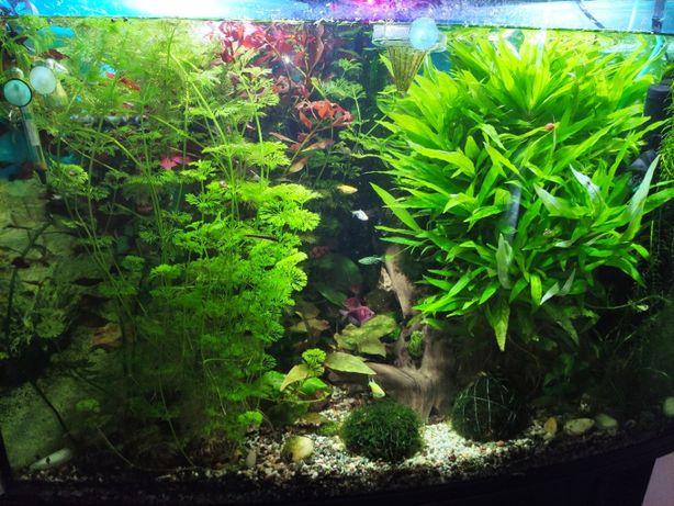НАБОРЫ аквариумных растений/поштуч вабикусы Криптокорина нимфея рыбки