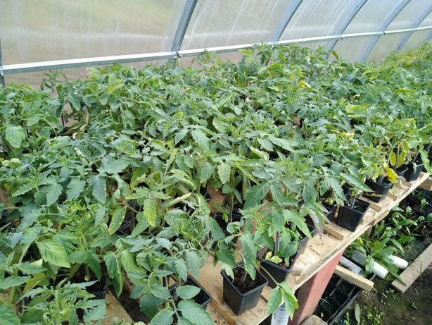 Sadzonki warzyw, pomidory, ogórki, sałata, dynia, cukinia, arbuz